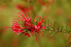 """Résultat de recherche d'images pour """"arbuste conifère nain a fleurs rouges"""""""