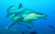 Like other members of his family, silvertip shark is viviparous, with females give birth to one to 11 pups in the summer. Description from life-sea.blogspot.co.nz. I searched for this on bing.com/images