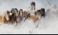 Galloping across the snowy steppe, stunning pictures of the wild horses of Mongolia descended from the stables of Genghis Khan