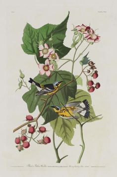 Yellow and Black Warbler ( 1824–38 ).  Hand-coloured etching and aquatint. Taken from 'The Birds of America.' AfterJohn James Audubon(American, 1785–1851).  Image and text courtesy MFA Boston.