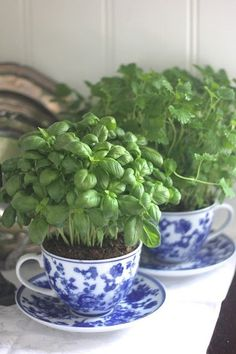 Basil planted in teacups for the kitchen.