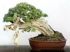 Kỹ thuật cắt tỉa cây cảnh ( phần 1 ) - http://caycanhnoithat.vn/blog/ky-thuat-cat-tia-cay-canh-phan-1/