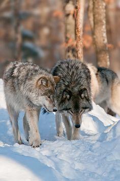 Beautiful Wolves : 画像