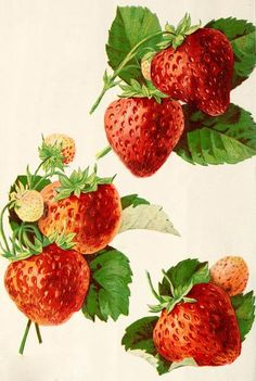 Free Graphic Friday! Gorgeous vintage illustrations of strawberries! The graphic comes from a plant catalog from the late 1890's, and features three separate vi