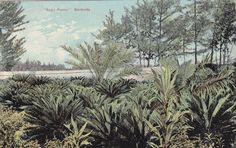 Sago Palms, Bermuda - Vintage Postcard - Unused (F)