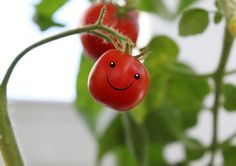 #Tomato – is it #fruit or #vegetable?