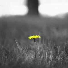 t by recepgulec Color Splash, Mists, Dandelion, Celestial, Black And White, Flowers, Plants, Outdoor, Touch