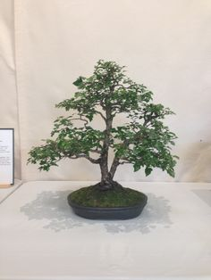 Hawthorn bonsai from the Ann Arbor Bonsai Society Show 2013 in Michigan. 44 year old tree.