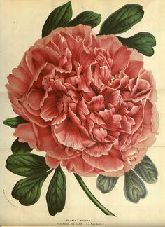 Peony Botanical Illustration | imgbucket.com - bucket list in ...