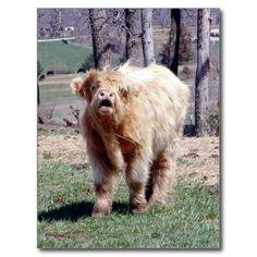 Good Moooooooorning Highland Bull Postcard USE CODE: JULYHOLIDAYZ for 60% off for the postcards!