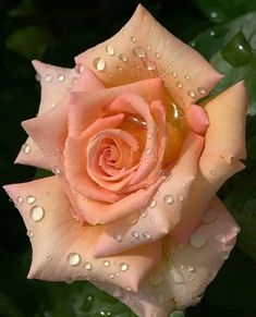 Find images and videos about flowers and rose on We Heart It - the app to get lost in what you love. Pretty Roses, Beautiful Roses, Orange Roses, Red Roses, Amazing Flowers, Love Flowers, Rose Reference, Heirloom Roses, Lavender Roses