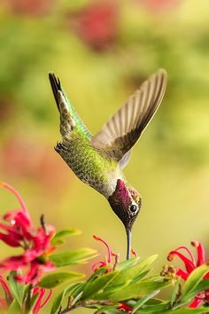 Gorgeous Hummer! sips nectar from flower