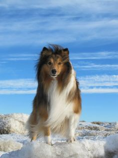 The Shetland Sheepdog originated in the and its ancestors were from Scotland, which worked as herding dogs. These early dogs were fairly Pet Dogs, Dog Cat, Doggies, Sheep Dog Puppy, Sheep Dogs, Shetland Sheepdog Puppies, Rough Collie, Herding Dogs, Oragami
