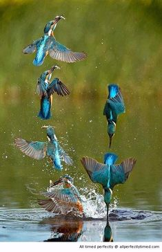 How some birds catch fish – Perfectly time as these birds dive in to catch a meal. It looks like each one will get a fish to eat.