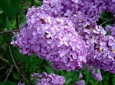 Have four different varieties of lilac now, and they all bloom at slightly different times.