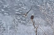 Bald eagles on River Clyde in winter, Prince Edward Island