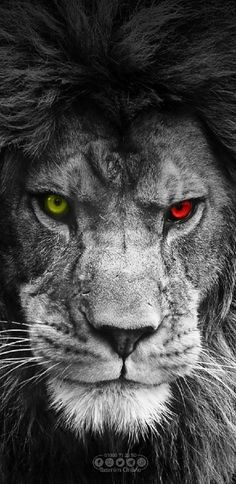 Browse millions of popular galatasaray wallpapers and ringtones on zedge an Lion Wallpaper Iphone, Z Wallpaper, Animal Wallpaper, Colorful Wallpaper, Lion Images, Lion Pictures, Lion Eyes, Lion Sketch, Lion Photography