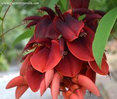 Erythrina crista-galli, el Ceibo: árbol y flor nacional de Argentina y Uruguay