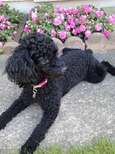 my furbaby Zoey!   black toy poodle This looks my dog Buddy when his ears grow longer. (Previous pinners quote)