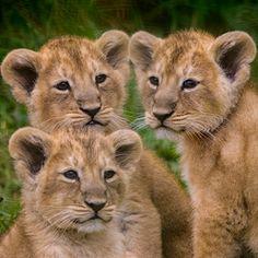 main-image-news-lion-01.jpg (350×350)