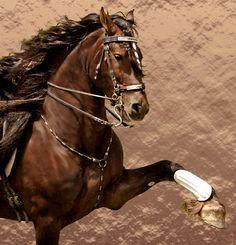 Fire Magic, purebred Liver Chestnut Friesian stallion