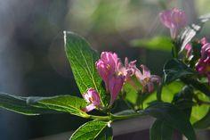 Rusokuusama | Vesan viherpiperryskuvat – puutarha kukkii