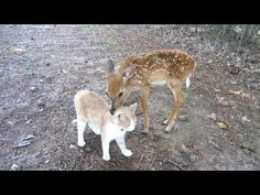 Baby Deer & Kitten become Friends By The Lighthouse Lady  (YouTube)