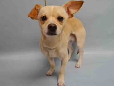 SAFE RTO - 01/21/16 - MILKY - #A1062833 - Urgent Manhattan - MALE TAN/WHITE CHIHUAHUA SH MIX, 2 Yrs - STRAY - HOLD FOR ID Intake 01/13/16 Due Out 01/16/16 - ACTIVE, FRIENDLY, WAGS TAIL- BECAME TENSE AFTER 1ST VACCINE