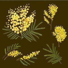 Illustration Mimosa botanique Vecteur gratuit