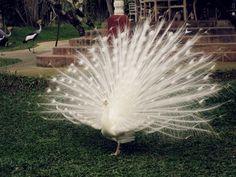 the God creation: a white heaven peacock :)