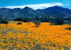 Google Image Result for http://www.city-data.com/forum/attachments/tucson/23818d1216577059-wild-flowers-their-best-wildflowers1.jpg