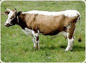 Telemark Cattle | Telemarkrind