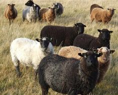 Shetland Wool Combed Top - Blue and White - Conservation Breed Sheep Farm, Sheep And Lamb, Farm Animals, Animals And Pets, Cute Animals, Miniature Cattle, Lamas, Baa Baa Black Sheep, Sheep Breeds