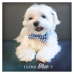 Blue isn't a boy color, it's a cute color! bow tie info www.unitedpups.com…