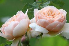 Sweet Juliet™® - David Austin® English Roses - Roses - Heirloom Roses