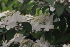 Viburnum plicatum f. Slugs In Garden, Kilimanjaro, Chelsea Flower Show, Salvia, White Flowers, Color Change, Sunrise, Plants, Gardens
