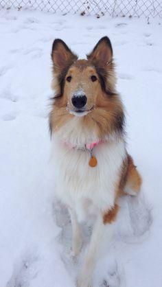 Rough Collie, Sprite, had fun in the snow