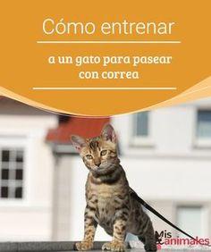 Cómo entrenar a un gato para pasear con correa En este artículo te vamos a explicar cómo entrenar a tu gato para pasear con correa. Te explicamos el proceso paso a paso para que sea todo un éxito. #pasear #gato #correa #consejos