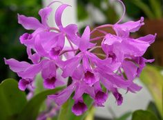 Sprays of Orchids