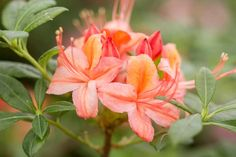 How to Grow Azaleas - BBC Gardeners' World Magazine Growing Seeds, Growing Plants, Red Flowers, Colorful Flowers, Plants Toxic To Dogs, Conservatory Plants, Common Garden Plants, Acid Loving Plants, Herbaceous Border
