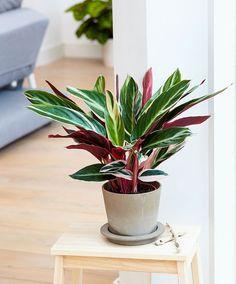 10 low light house plants: peacock plant calathea Houseplants Leedy Interiors NJ Interior Designer NJ