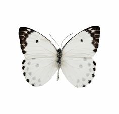 Butterfly in White Butterfly Effect, White Butterfly, Butterfly Baby, Butterfly Tattoos, Butterfly Kisses, Beautiful Bugs, Beautiful Butterflies, Shades Of White, Black And White