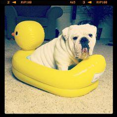 Bulldog <3