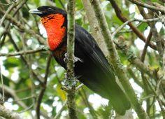 Pavó - (Pyroderus scutatus), Corredeiras do Rio Itajaí, em Itaiópolis (SC) - Brasil.
