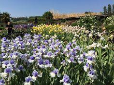Les massifs d'iris du Jardin du Châtelain Iris, Plants, Gardens, Flowers, Irise, Irises, Planters, Plant, Planting