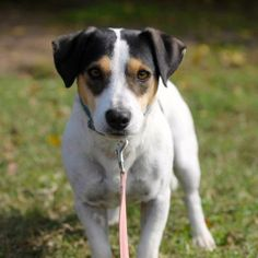 Oscar is an adoptable Jack Russell Terrier Mix in Tulsa, OK! Check out his page for more details!