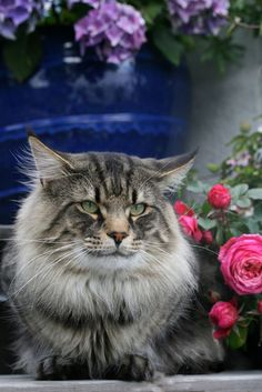 Norwegian Forest Cat. what a handsome face. <3