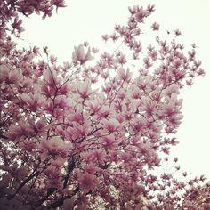 Magnolias!