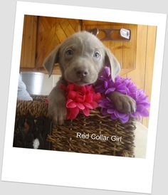 My silver Lab Baya !! when she was a pup