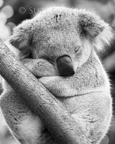 Original fine art photographic print of a sleepy koala in black and white- by award winning wildlife photographer Suzi Eszterhas. (No copyright